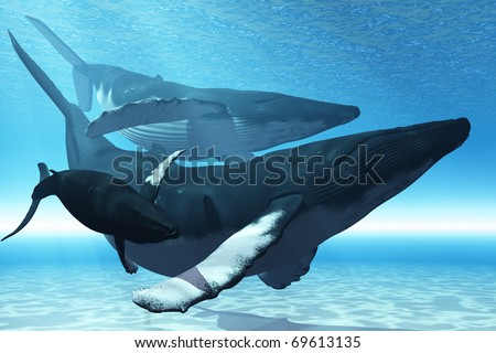 WHALE PLAY - A mother Humpback whale is escorted by another whale and her baby calf. - stock photo