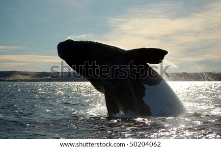 whale power in patagonia - stock photo