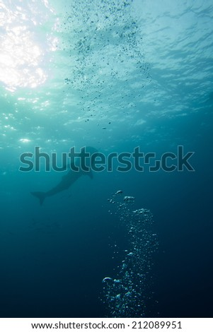 Whale shark - stock photo