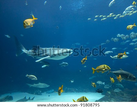 Whale shark and schools of fish - stock photo