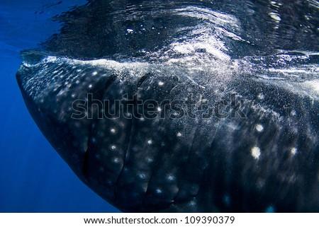 Whale shark breach to feed on plankton - stock photo