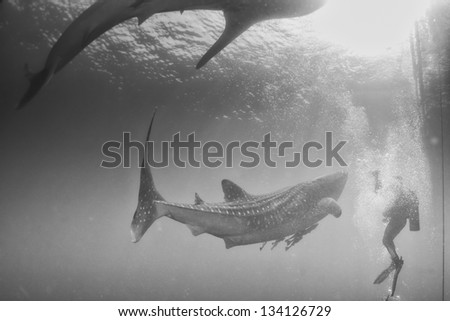 Whale Shark close encounter with diver underwater in Papua - stock photo