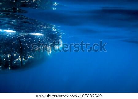 Whale shark feeding on plankton - stock photo