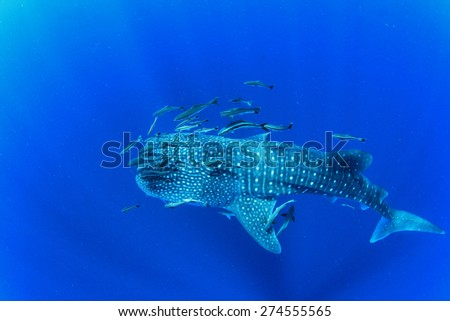Whale Shark in ocean with Cobia fish and Remoras  - stock photo