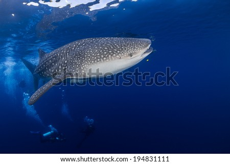 Whale shark in the blue - stock photo