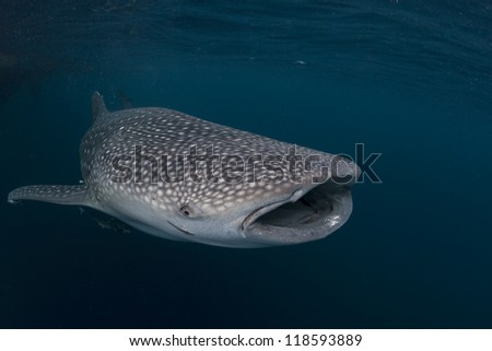whale shark in the blue sea of cenderawasih bay, indonesia - stock photo