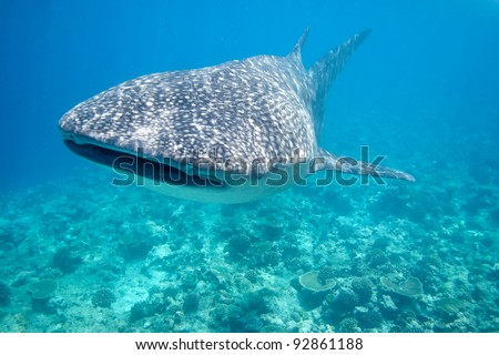 Whale Shark in the Maldives - stock photo