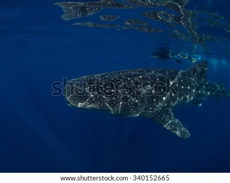 whale shark, Isla Mujeres, Mexico - stock photo