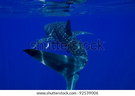 Whale Shark Ningaloo Reef (Rhincodon typus) - stock photo
