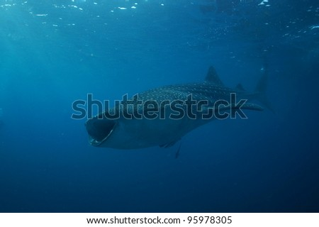 Whale Shark  Philippines - stock photo