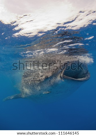 Whale shark  (Rhincodon typus) is a slow moving filter feeding animal. Its the biggest fish on the planet. - stock photo