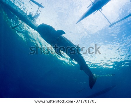 Whale shark (Rhincodon typus) is the largest known extant fish species and a slow-moving filter feeding shark