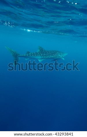 Whale shark (Rhincodon typus), Maldives - stock photo