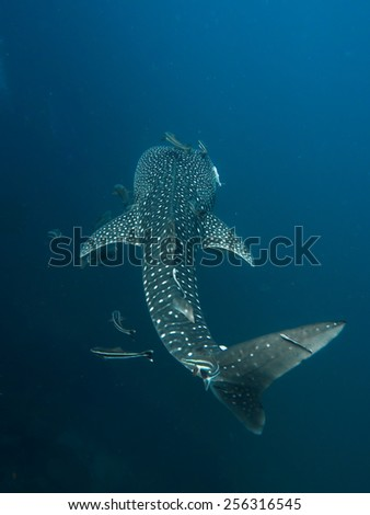 Whale Shark, Rhincodon typus swimming by with it's entourage of Remoras and Cobias. - stock photo