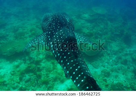 Whale Shark (Rhincodon typus) swimming  in crystal clear blue waters at Maldives - stock photo