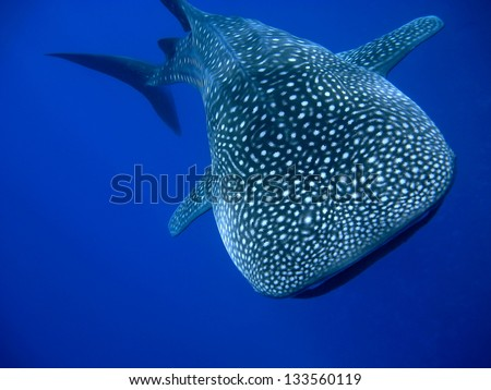 Whale Shark (Rhincodon typus) swimming right at the camera in crystal clear blue waters off the coast of Maui - stock photo