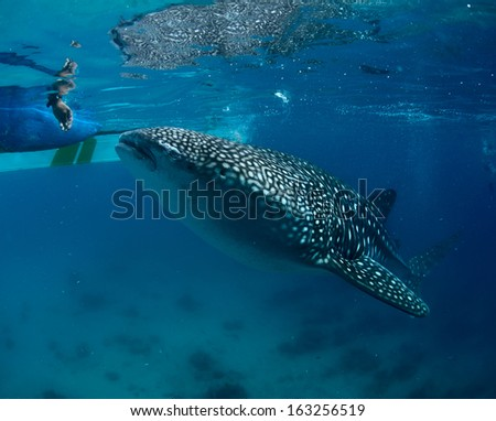 Whale shark (Rhincodon typus) taking food near surface from human hands - stock photo
