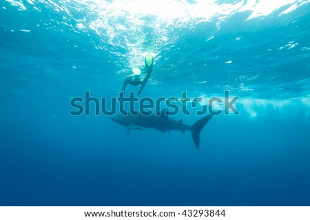 Whale shark (Rhincodon typus) with divers, Maldives - stock photo