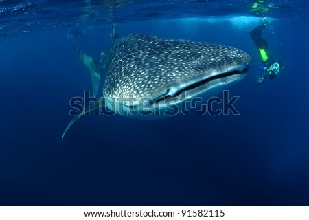 Whale shark & snorkeller Rhincodon typus Seychelles - stock photo