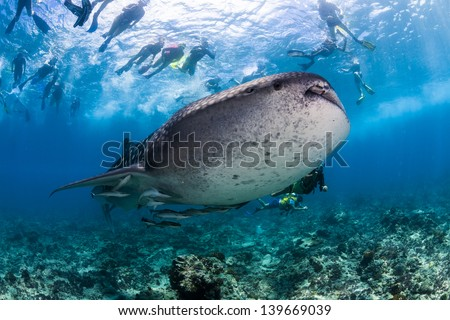 Whale shark spotting snorkeling in maldives surrounded by snorkeler - stock photo