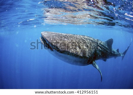 Whale shark swimming in crystal clear ocean water. - stock photo