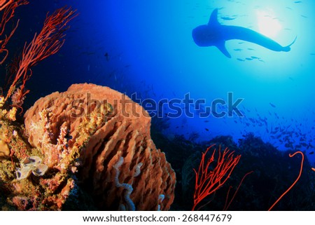 Whale Shark swims over coral reef - stock photo
