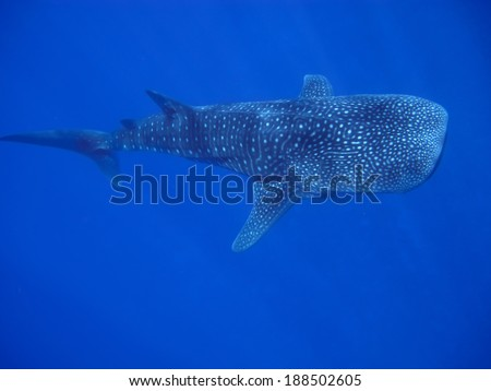Whale Shark top view - stock photo