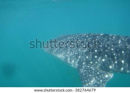 Whale shark underwater - stock photo