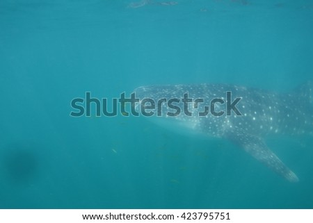 Whale shark underwater - stock photo