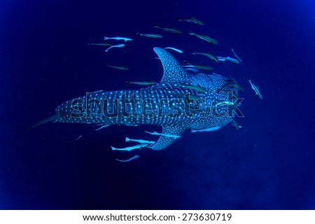 Whale Shark underwater accompanied by Remora fish - stock photo