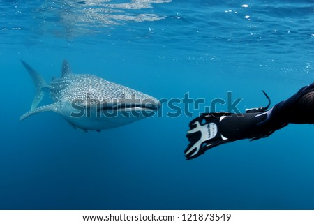 Whale Shark underwater approaching a scuba diver in the deep blue sea seems to attack - stock photo