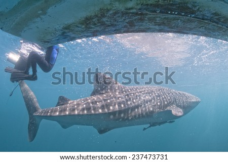 Whale Shark underwater in the deep blue sea seems to attack diver - stock photo