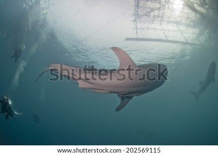 Whale Shark underwater with big open mouth jaws while eating - stock photo