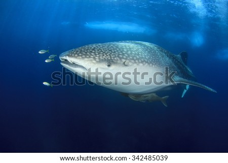 Whale Shark whaleshark - stock photo