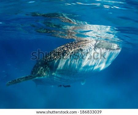 Whale shark with attached Remora feeding at the surface - stock photo