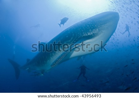 Whale shark with divers - stock photo