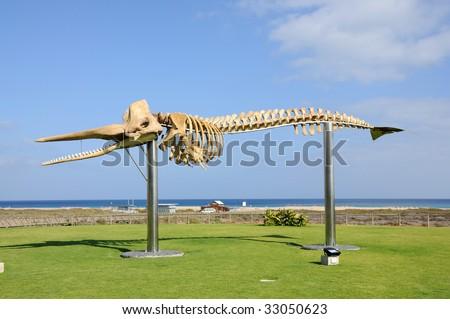 Whale skeleton in Jandia Playa, Canary Island Fuerteventura, Spain - stock photo