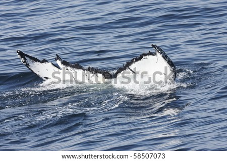 Whale tail   entering into the ocean - stock photo