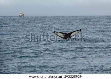 whale tail in Iceland - stock photo