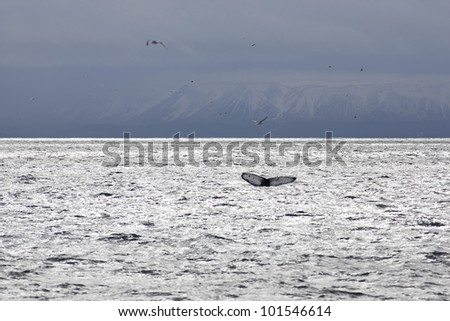 Whale tail in the waters outside Reykjavik, mountains in the background