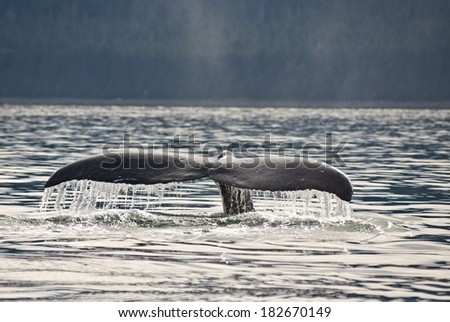 Whale watching adventure from Juneau Alaska , Marine life , Humpback Whale Tail  / Humpback Whale Tail - stock photo