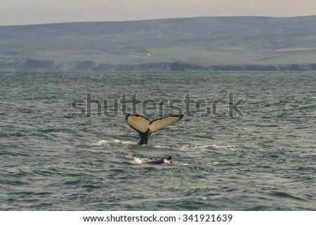 Whale watching safari with humpback whales at Iceland, summer, 2015 - stock photo