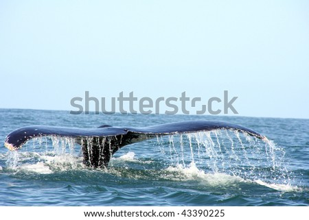 whale watching San Blas Mexico - stock photo