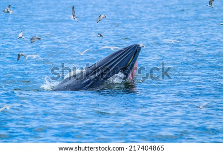 whales eating fish (Balaenoptera brydei) in   Gulf of Thailand