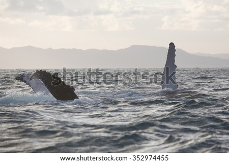 Whales showing fin above water/Whales, fins, water/Excellent photo and illustration wildlife in sea and ocean