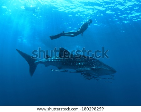 Whaleshark - stock photo