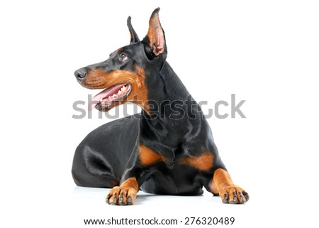 What is there. Doberman pinscher lying on isolated white background - stock photo