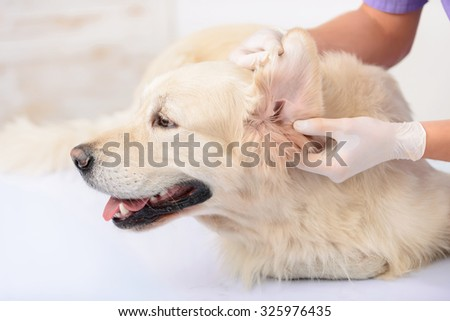 What is wrong. Close up of big dog lying on the table in the consulting room while being examined by professional vet - stock photo