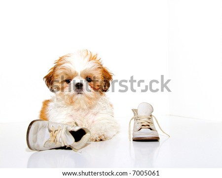 What shoes?  I don't see any shoes! - A cute Shih Tzu puppy and a pair of vintage baby shoes.