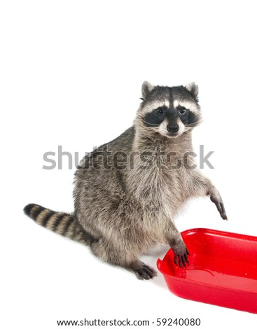 What will you wash? Raccoon ready to erase all the red basin of water - stock photo